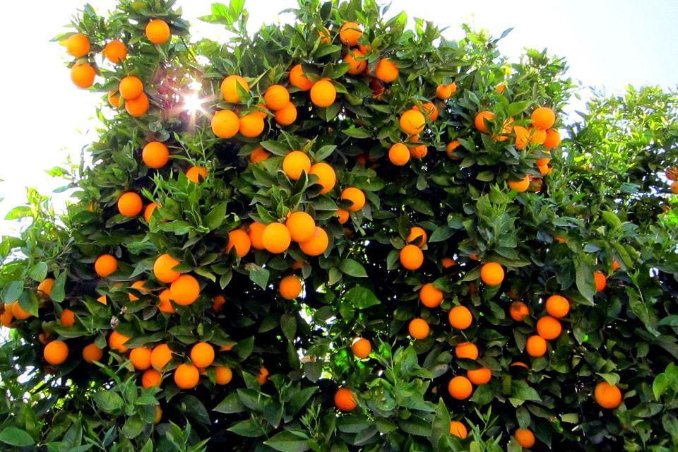 Naranjas variedades
