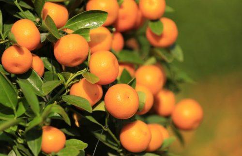Mandarinas desde el arbol