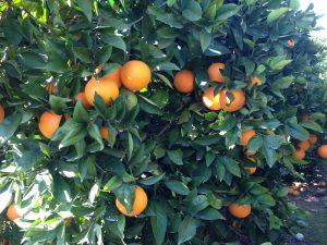 Naranjo Carraixet