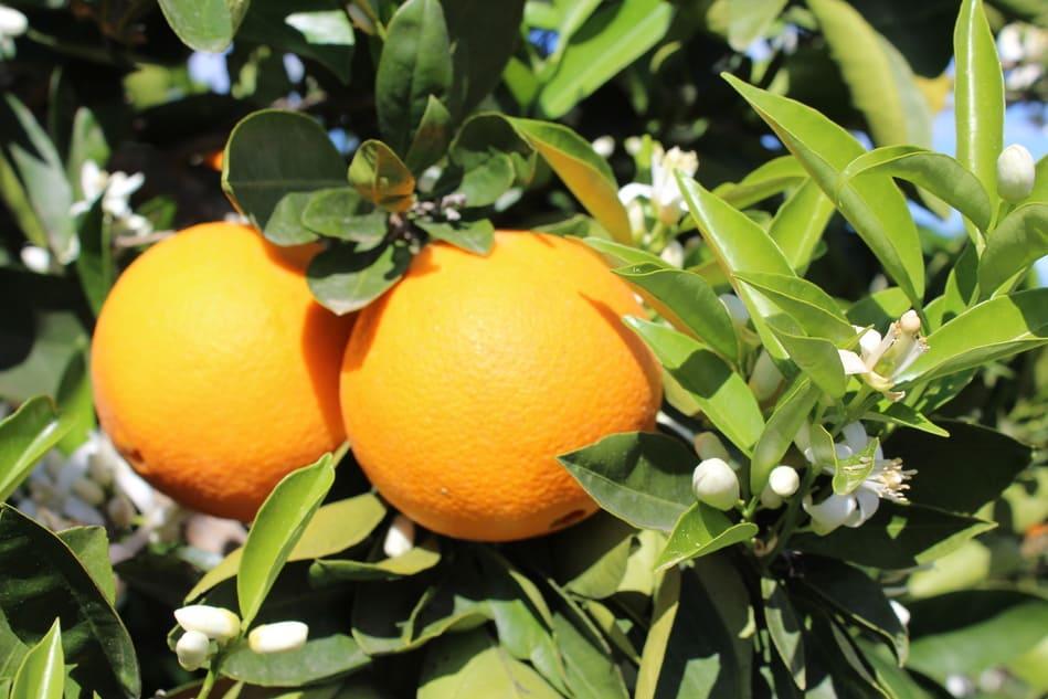 naranjas valencia online